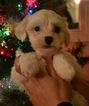 Coton de Tulear Puppy For Sale in FELTON, PA