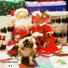 Australian Shepherd Puppy For Sale in BAKERSFIELD, CA
