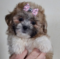 Zuchon Puppy For Sale in WARSAW, IN, USA