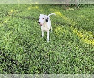 Dalmatian Puppy for sale in MERRITT IS, FL, USA