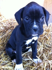 Boxer Puppy For Sale in CORBIN, KY