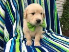 Golden Retriever Puppy For Sale in PEACH BOTTOM, PA, USA