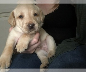 Labradoodle-Labrador Retriever Mix Puppy for Sale in TAMPA, Florida USA