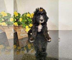 Bernedoodle Dog for Adoption in SHIPSHEWANA, Indiana USA