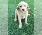 Puppy 4 Labradoodle