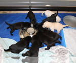 Small Photo #1 Labrador Retriever Puppy For Sale in BOISE, ID, USA