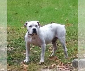 American Bulldog Dog for Adoption in GASTON, South Carolina USA