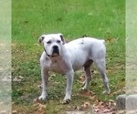 Small American Bulldog