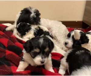 Havanese Puppy for sale in WICKENBURG, AZ, USA