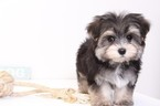 Morkie Puppy For Sale in NAPLES, FL