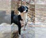 Small #5 Border Collie-Karelian Bear Dog Mix