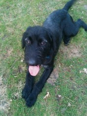 View Ad German Wirehaired Pointer Labrador Retriever Mix Puppy For