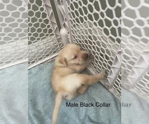 Labrador Retriever Puppy for sale in WHITTIER, CA, USA