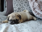 Pug Puppy For Sale in BROOMFIELD, CO, USA
