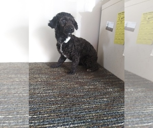 Poodle (Toy) Puppy for Sale in SHIPSHEWANA, Indiana USA