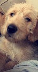 Labradoodle Puppy For Sale in DALLAS, TX