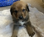 Puppy 1 German Shepherd Dog-Greater Swiss Mountain Dog Mix