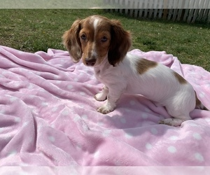 Dachshund Puppy for Sale in BRISTOW, Virginia USA