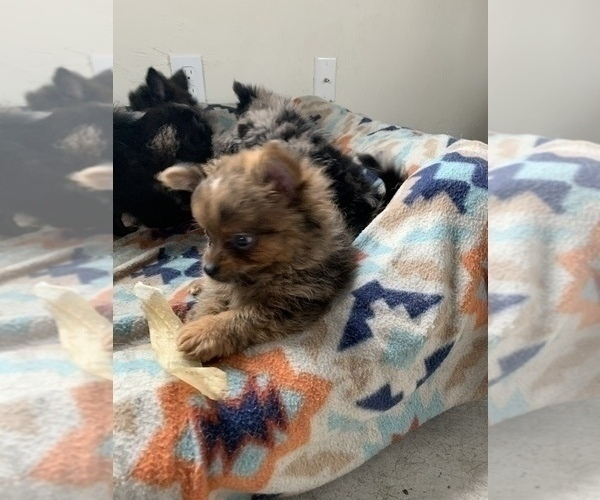 Medium Photo #11 Pomeranian Puppy For Sale in KEAAU, HI, USA
