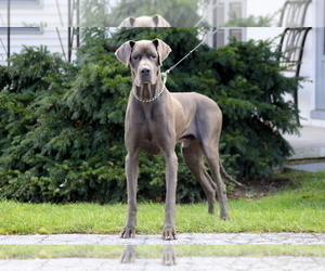 Father of the Great Dane puppies born on 08/25/2020