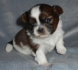 Shih Tzu Puppy for sale in DIXON, IL, USA