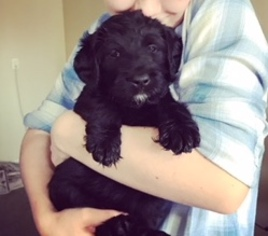Labradoodle Puppy For Sale in KANSAS CITY, MO