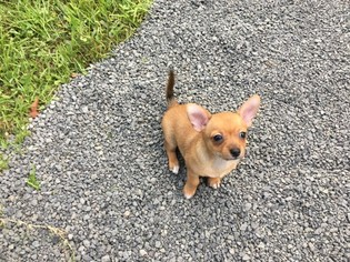 Learn These Chihuahua Puppies For Adoption In Sc {Swypeout}