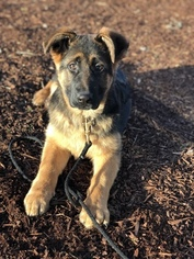 AKC German Shepherd Puppies Champion Bloodlines