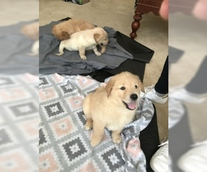 Golden Retriever Puppy for sale in WORCESTER, MA, USA