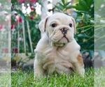 Puppy 7 English Bulldog