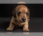Puppy 0 Dachshund
