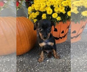 Miniature Pinscher Puppy for sale in BECKLEY, WV, USA