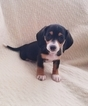 Dachshund Puppy For Sale in LEES SUMMIT, Missouri,