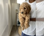 Small #11 Goldendoodle-Poodle (Standard) Mix
