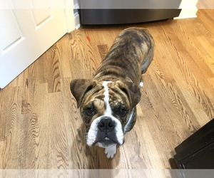 English Bulldog Puppy for sale in WAKE FOREST, NC, USA