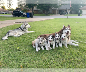 Siberian Husky Puppy for sale in BRKN ARW, OK, USA