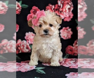 Maltipoo Puppy for sale in LEOLA, PA, USA