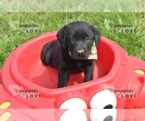 Labrador Retriever Puppy for Sale in SANGER, Texas USA