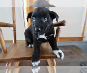 Australian Cattle Dog Puppy for sale in JACKSON, MI, USA