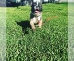 French Bulldog Puppy For Sale in HUNTINGTN BCH, CA, USA