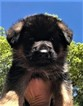 German Shepherd Dog Puppy For Sale in LAKELAND, Florida,