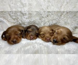 Dachshund Dog for Adoption in RIALTO, California USA