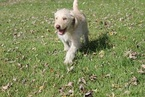 Labradoodle Puppy For Sale in WARSAW, IN,