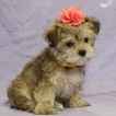 Morkie Puppy For Sale in NAVARRE, OH, USA