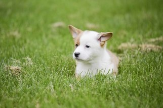 Pembroke Welsh Corgi Puppy For Sale in NEWVILLE, PA, USA