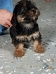 Yo-Chon Puppy For Sale in ARTHUR, IL, USA