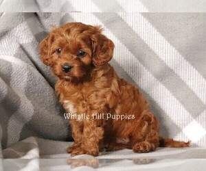 Cavapoo Dog for Adoption in DENVER, Pennsylvania USA