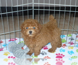 Poodle (Miniature) Dog for Adoption in ORO VALLEY, Arizona USA
