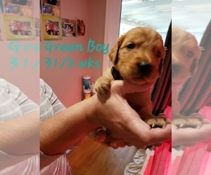 Golden Retriever Puppy for Sale in FRESNO, California USA