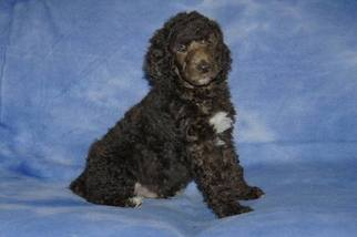 Poodle Standard Puppies And Dogs For Sale In Usa